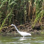Snowy egret on the banks of the Peconic River